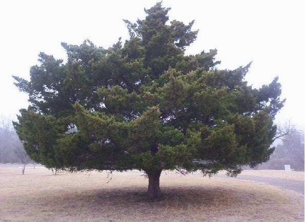 Austin TX Mckinney Park   fat tree