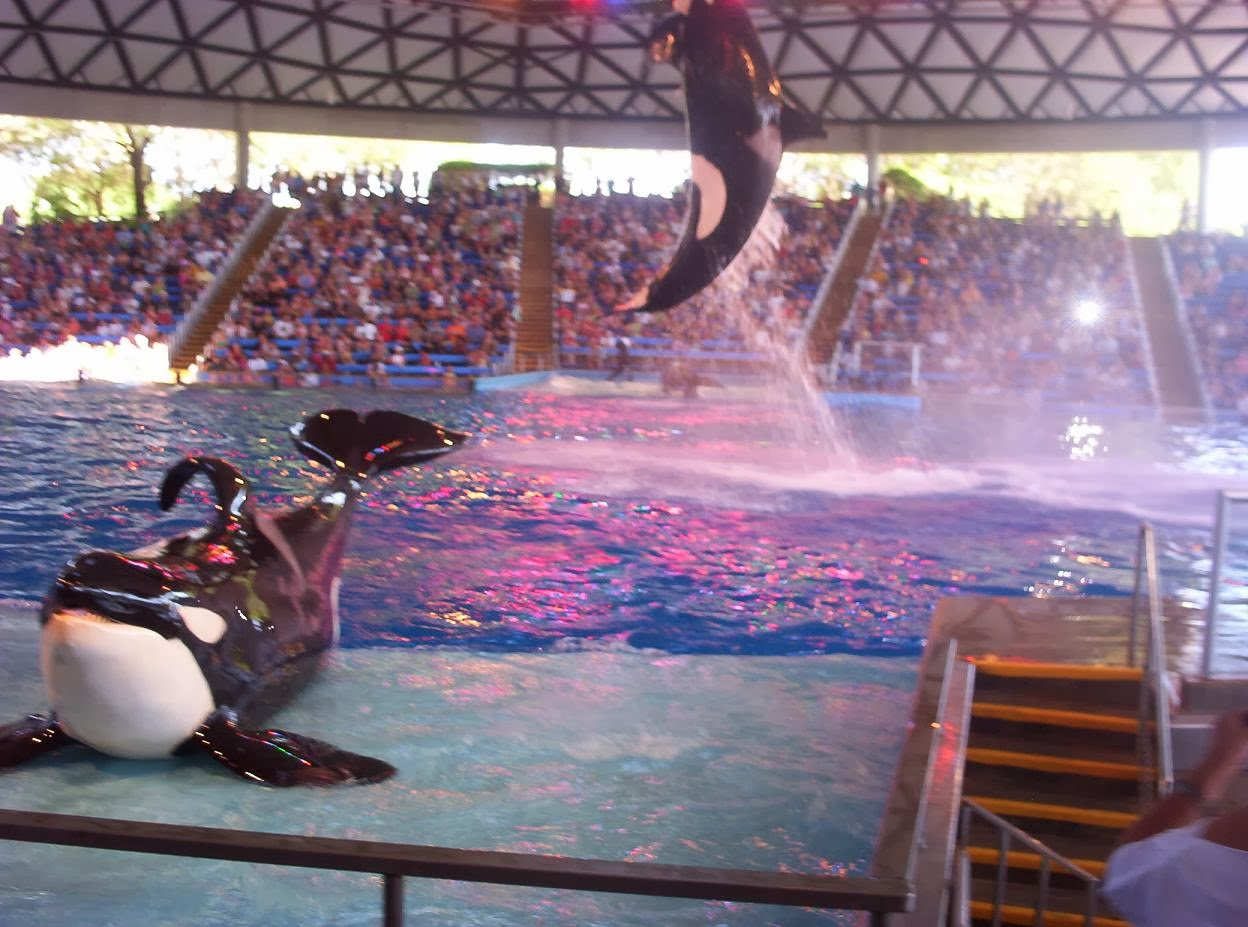 shamu killer whale show finale at seaworld san antonio texas