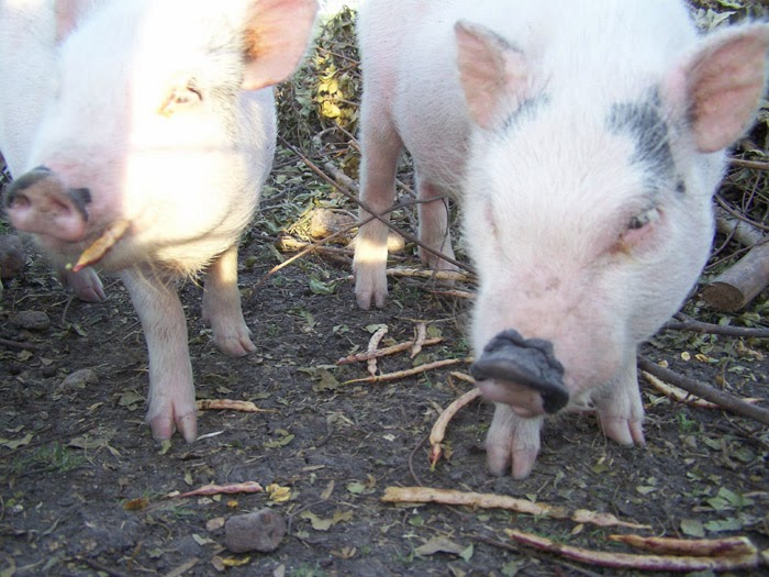 pigs love mesquite seeds
