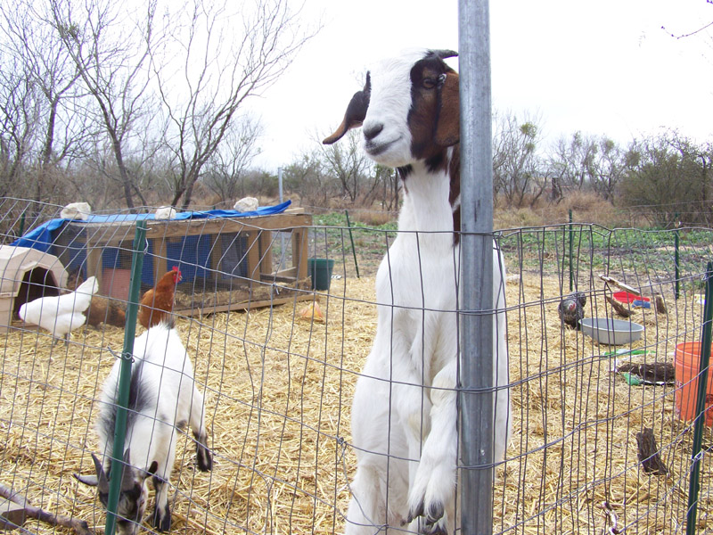 lilly and johnny goats