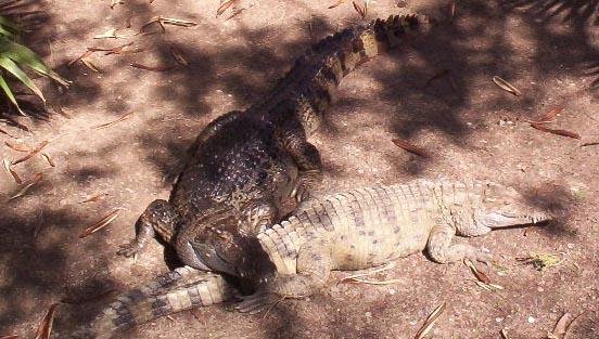 Brownsville TX   Crocodiles