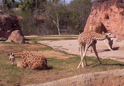 Brownsville TX   brownsville zoo giraffes