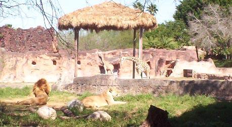 Brownsville TX   brownsville zoo lions and giraffes
