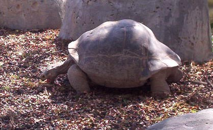 Brownsville TX   brownsville zoo my favorite galapagos turtle