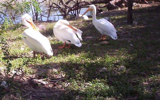 Brownsville TX   brownsville zoo pelicans