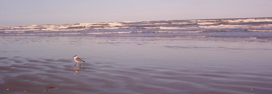 south padre island texas   bird on the beach