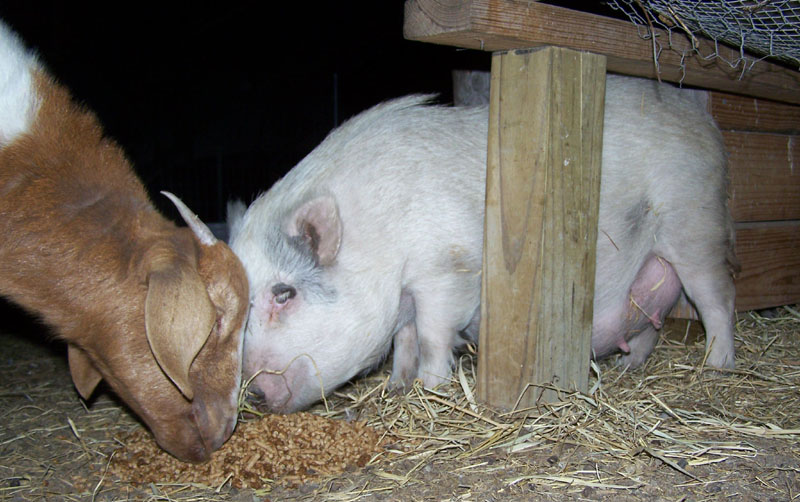 mother pig sow eating dinner