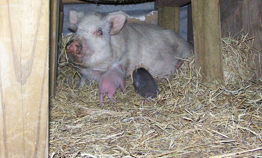 mother pig sow with her piglet babies
