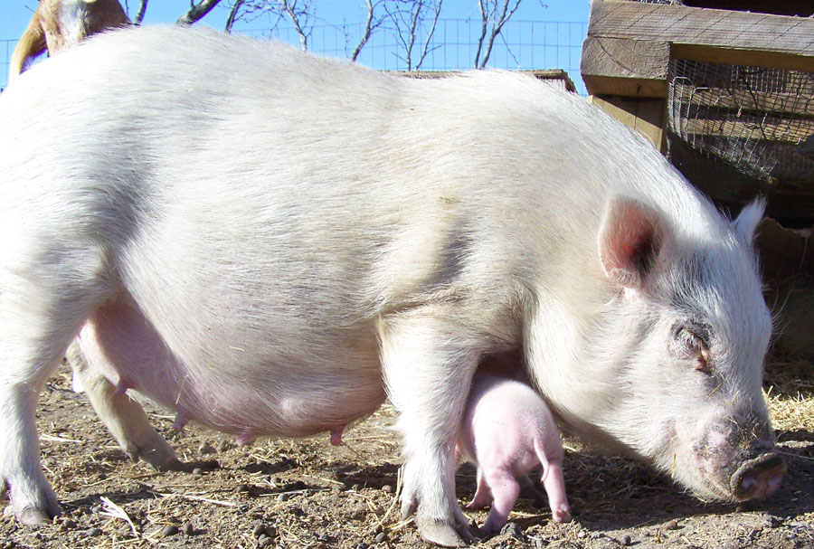 mother pig sow with baby piglet