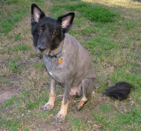 bear the dog after his super short haircut