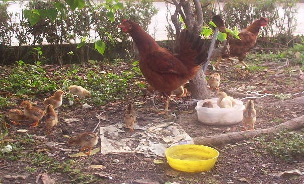 El Tajin veracruz mexico   Rooster and Chickens
