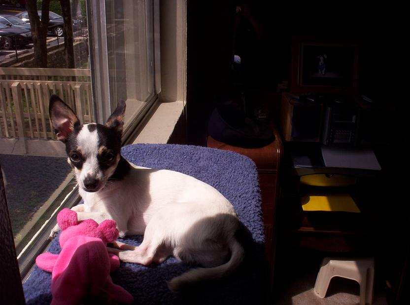 toby the chihuahua sitting at the window