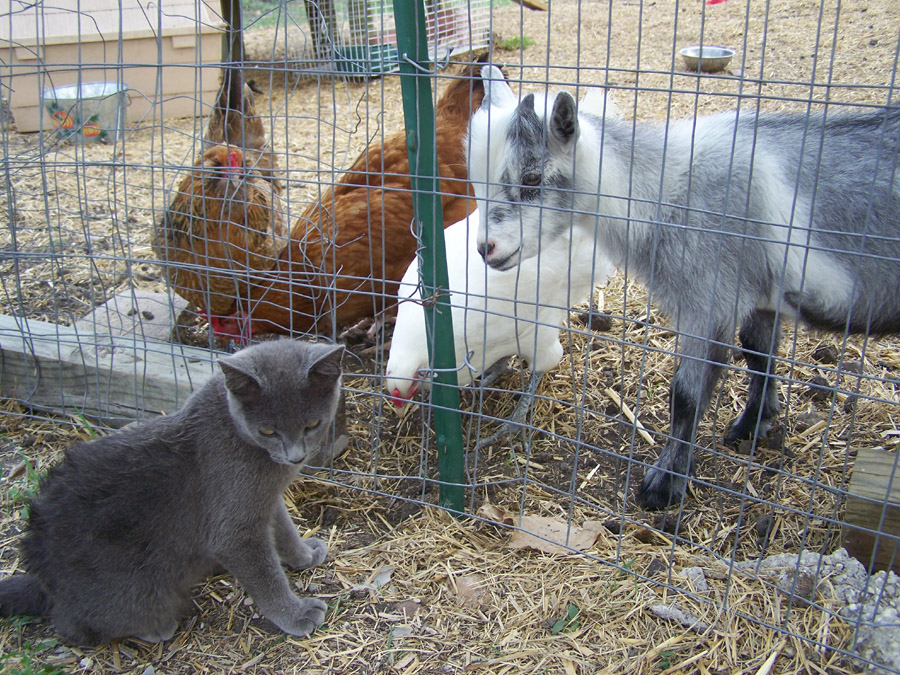 fiona the cat chickens paulie the goat