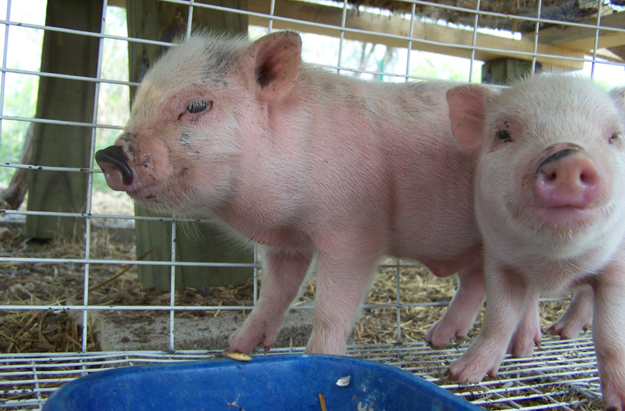 patrick and sandy piglets