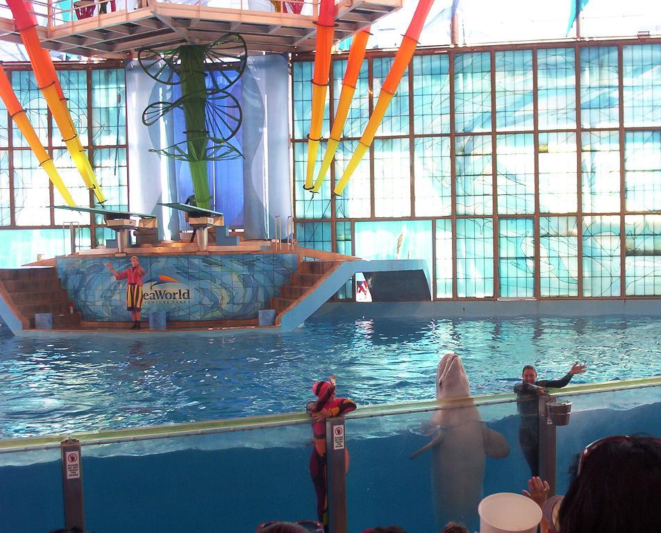 beluga whale show at seaworld san antonio texas