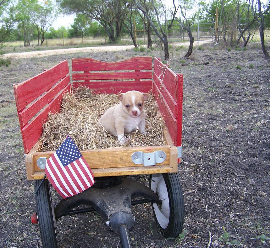 benji on hay in american flyer wagon