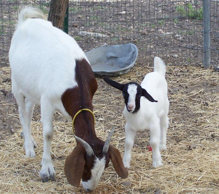 mother and baby goat