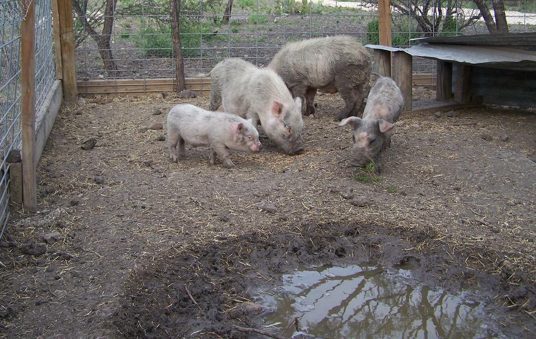 webster and the herd of pigs