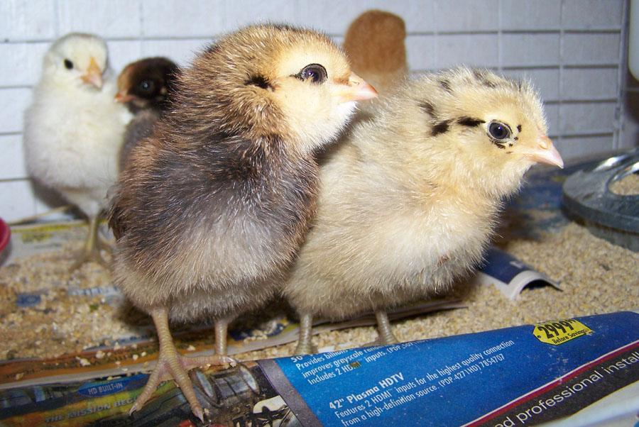 raising baby chickens in texas