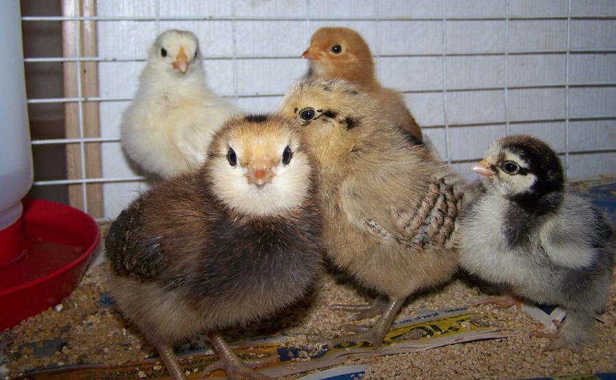 raising chicks in texas