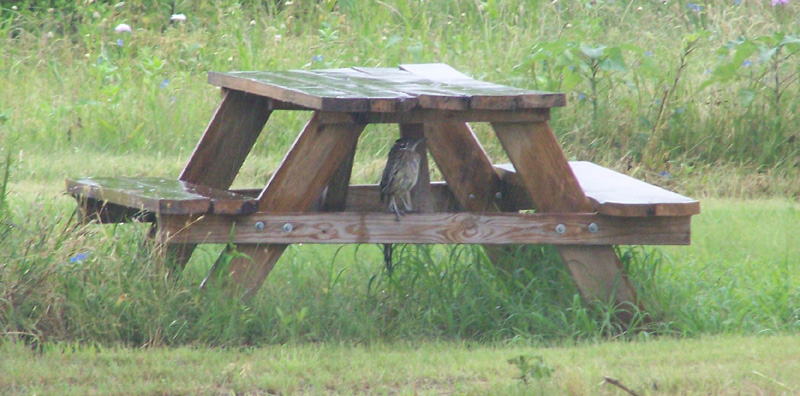 roadrunner sitting under picnic table