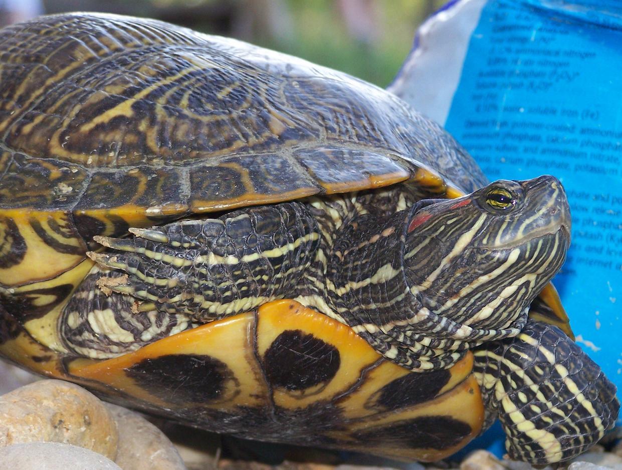 redear snapper turtle