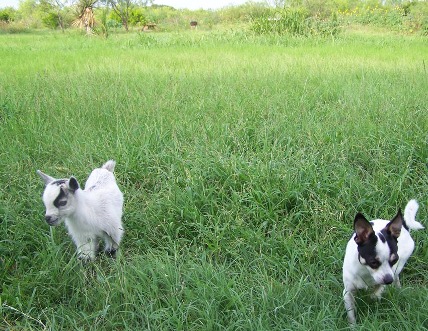 lucky the baby goat and the chihuahua