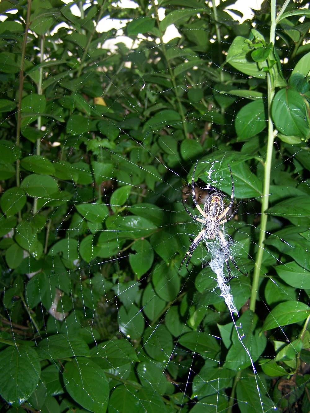 spider in spiderweb