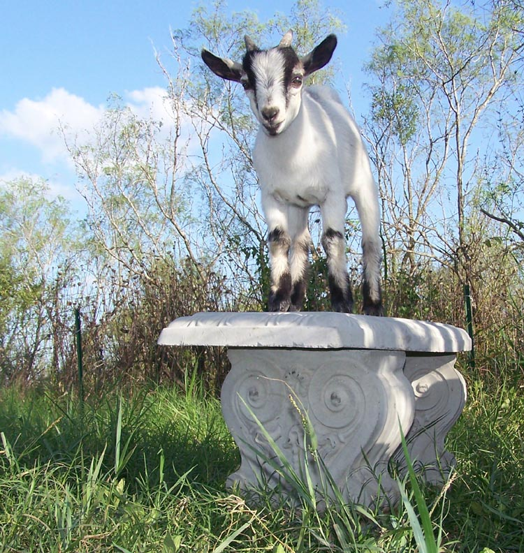 baby goat standing on bench