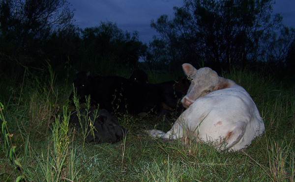 pig sleeping with cows
