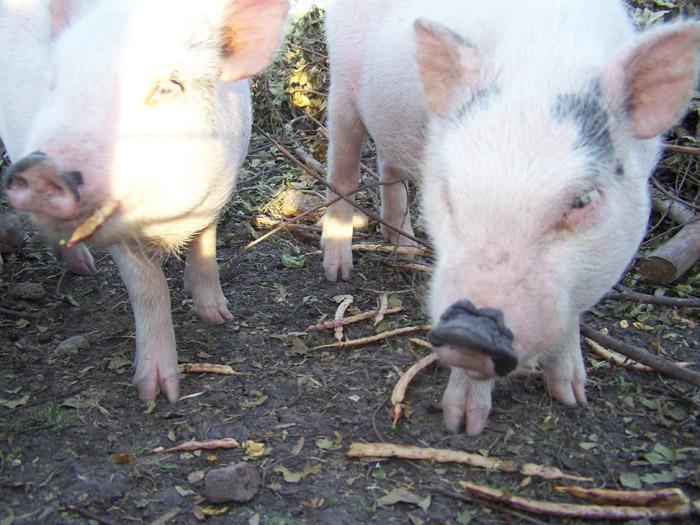 pigs love mesquite seeds
