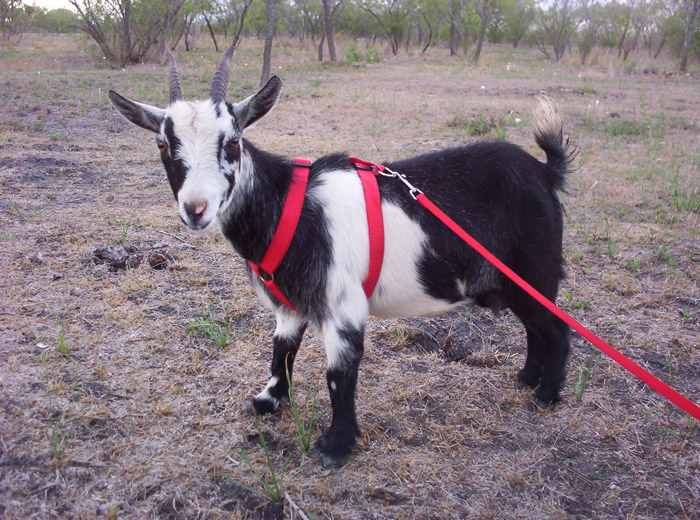 minnie the little goat