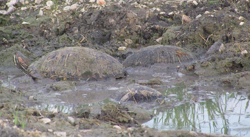 turtles in mud