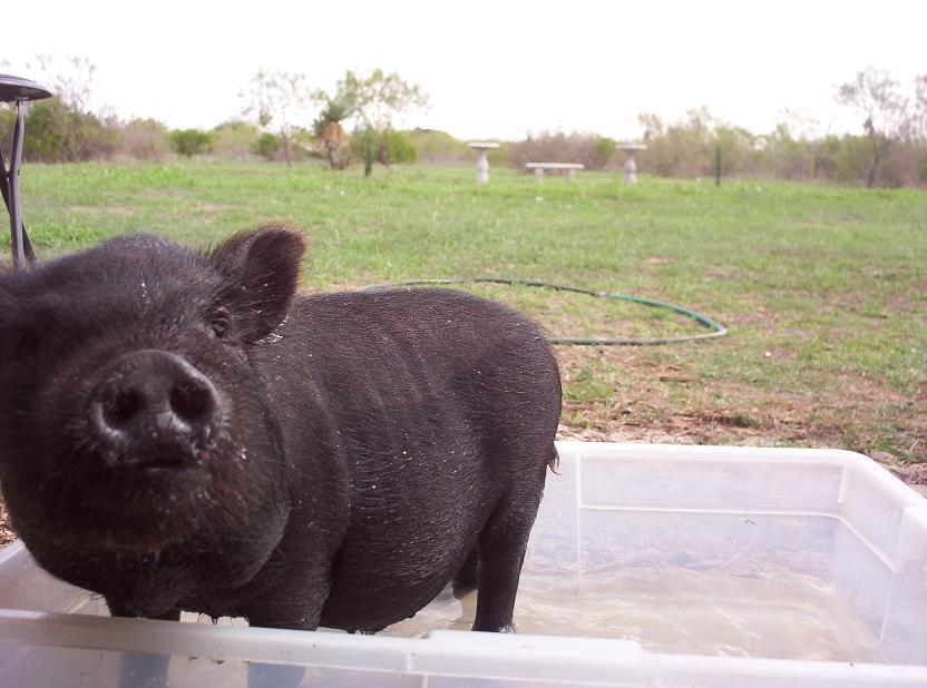 peewee the pig soaking in water