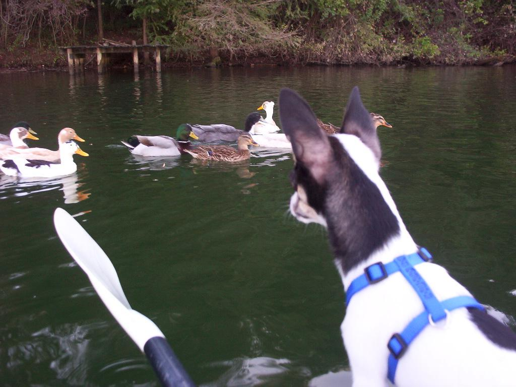 chihuahua in the kayak watching the ducks