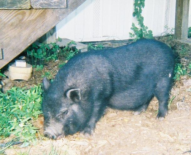 peewee the vietnamese potbelly pig