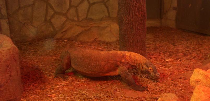 komodo dragon in san antonio texas zoo