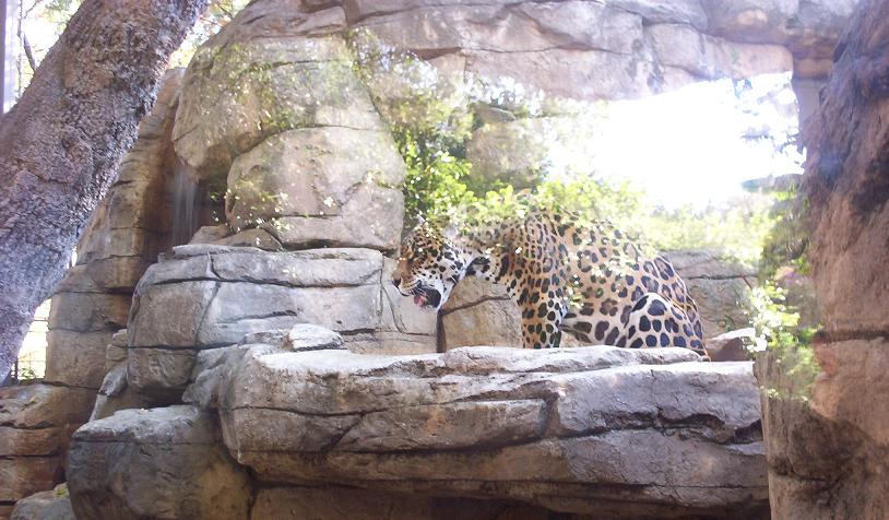 large cat in san antonio texas zoo