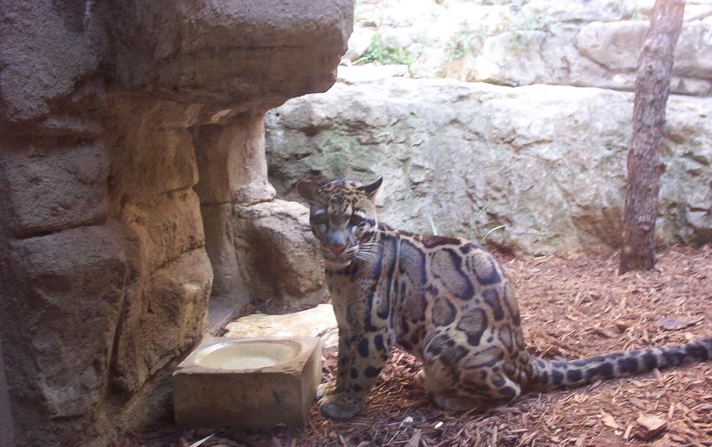leopard in san antonio texas zoo