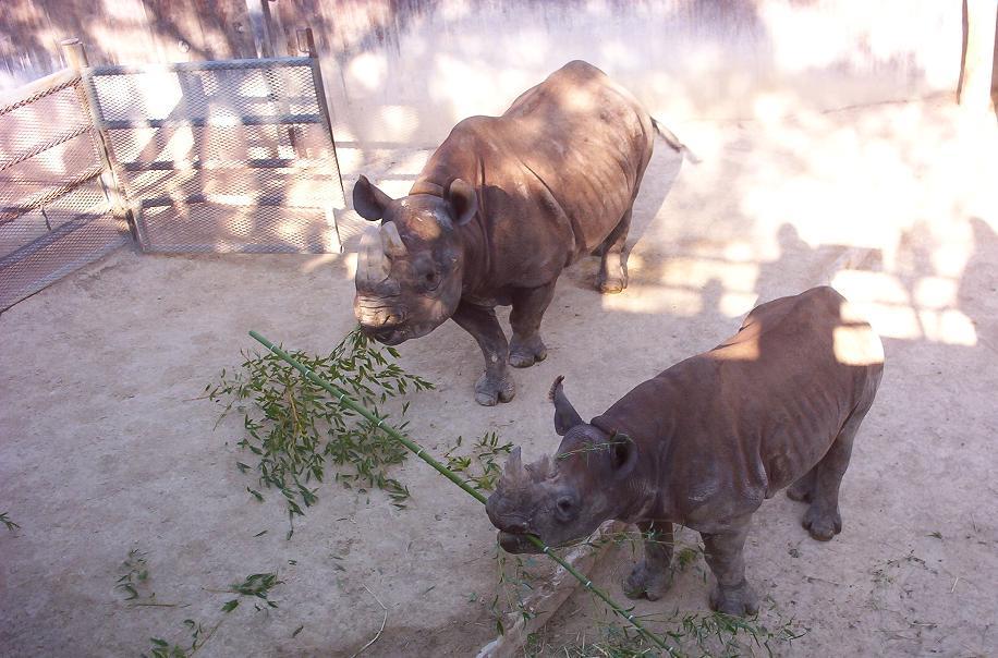 little rhino eating bamboo in san antonio texas zoo
