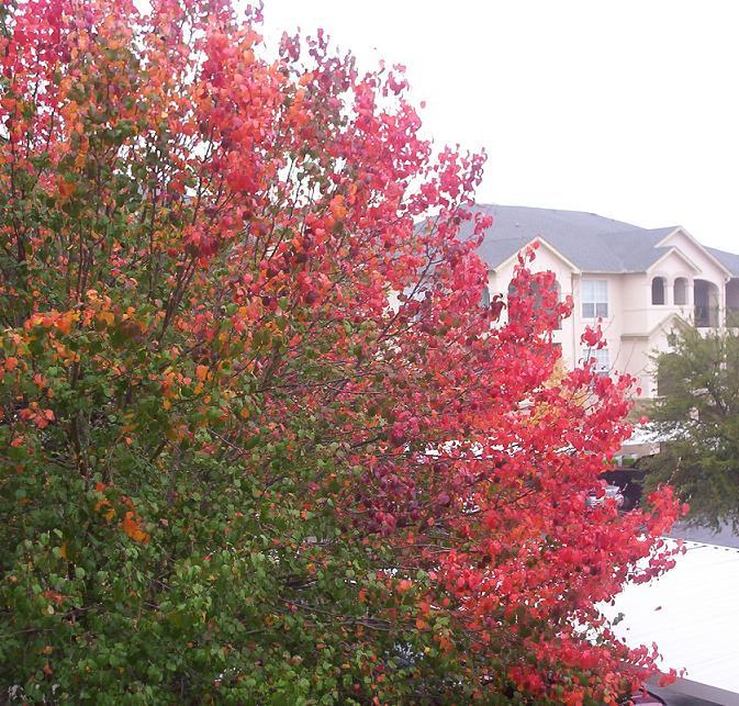 san antonio tree changing colors green orange red and purple