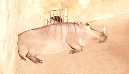 sunbathing warthog in san antonio texas zoo